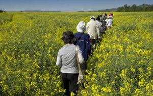 People walking through field of rapeseed
