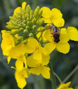 bee on rape flower