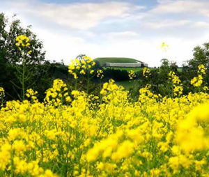Newgrange Gold field of rapeseed in front of Unesco building