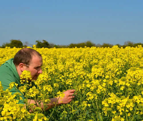 The process rapeseed oil camelina oil newgrange gold oils a bright yellow flower is produced from just a green and pollination is helped by pollen beetles and bees mightylinksfo