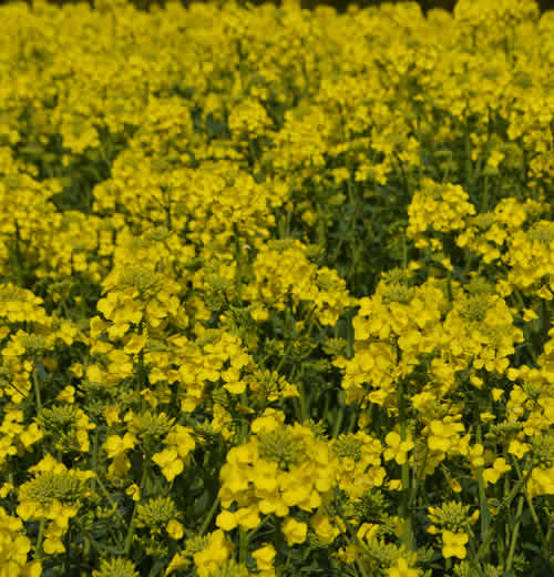 Newgrange Gold Field of Rapeseed